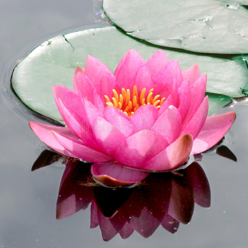 Free Pink Water Lily Stock Photography - 10775892