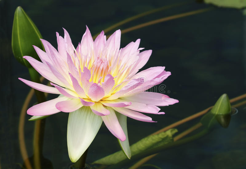 Download Pink water lily stock image. Image of aquatic, floral - 17589193