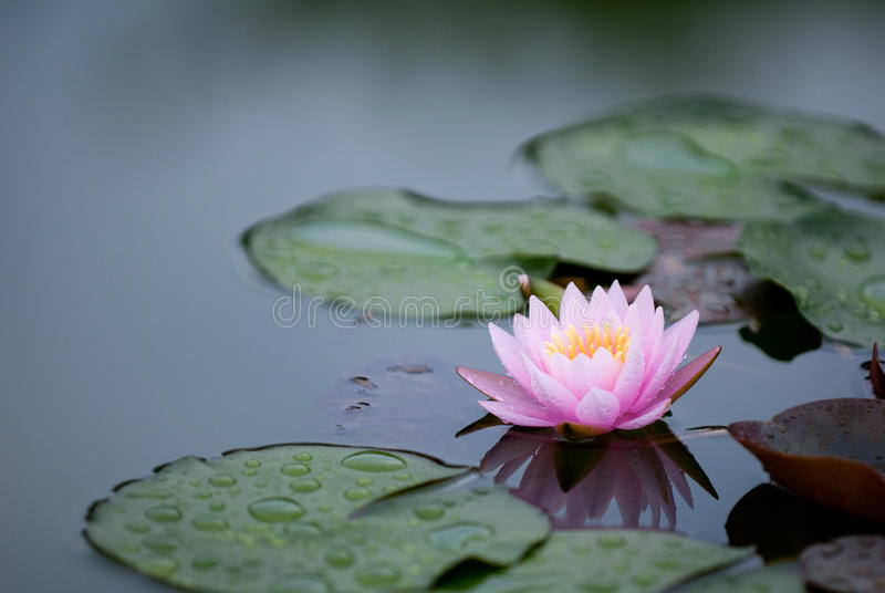 Download Pink Water Lily 2 stock photo. Image of lotus, background - 10384258
