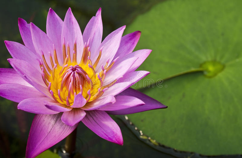Pink water lily. Beautiful bloomed pink water lily stock photos