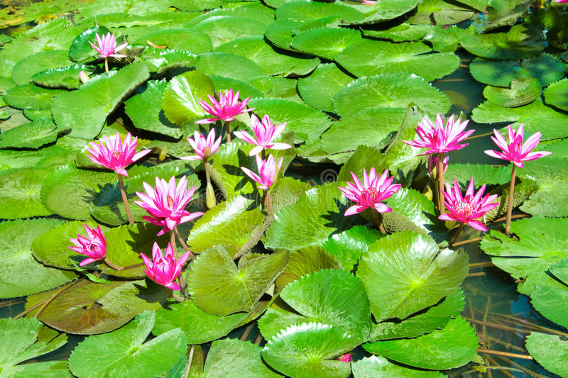 Download Pink water lily stock image. Image of blossom, purple - 25458093