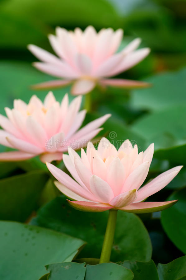 Download Pink water lily stock photo. Image of float, aquatic, lake - 9959102