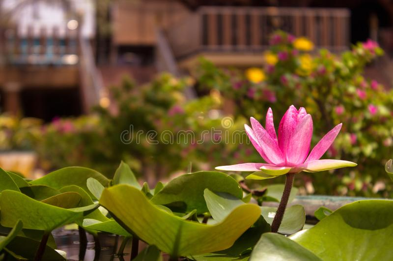 Pink water lily is blooming with many lotus leaf in pound and blurred temple background, horizontal side view. royalty free stock photography