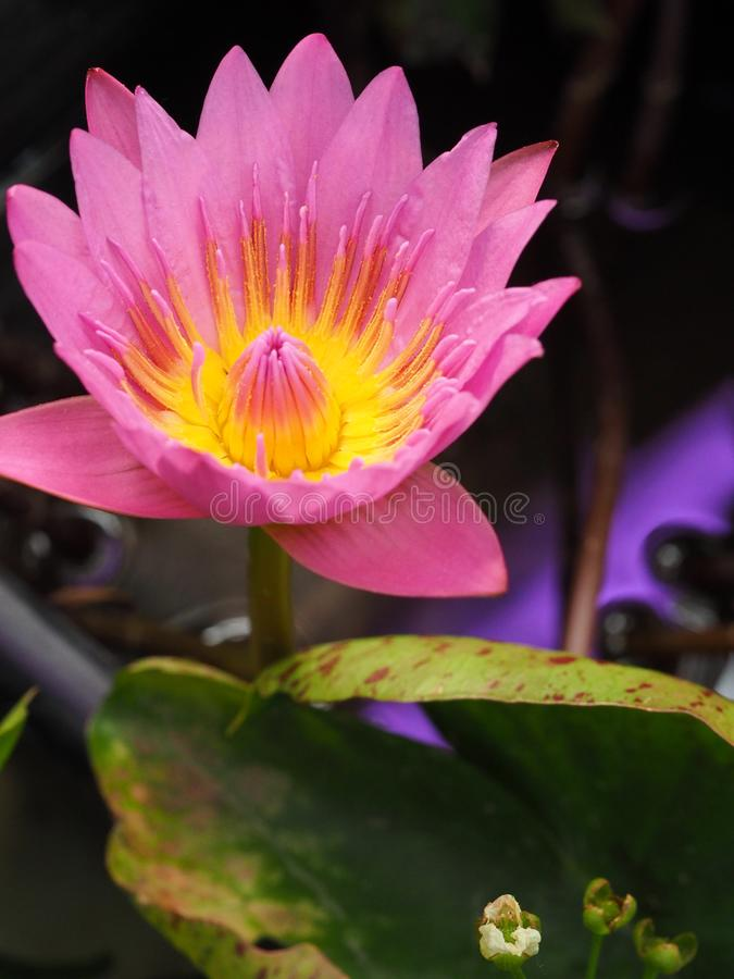 Pink water lily, close up. Pink lotus with green leaf space, Purple waterlily in pond close up royalty free stock photos
