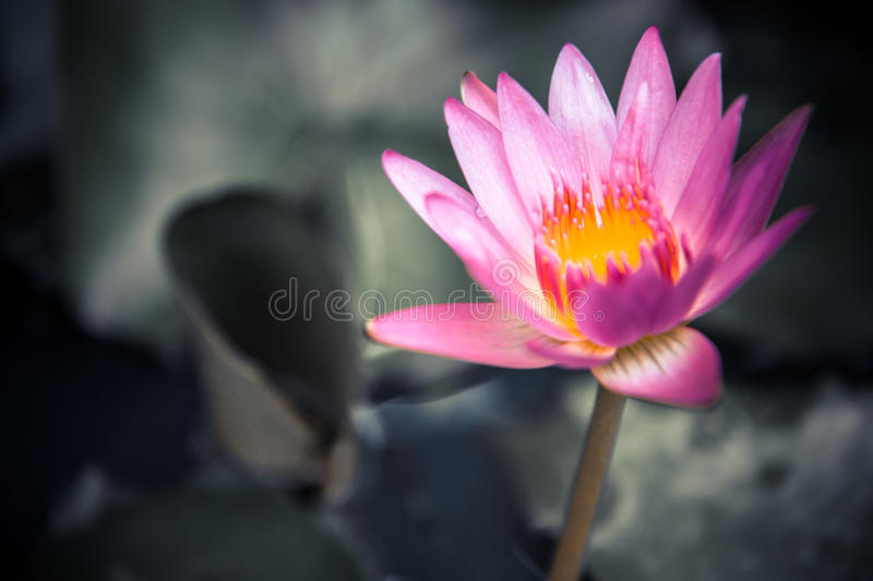 Pink water lily on dark blurred background of green leaves with copy space as zen spa background. Pink water lotus lily on dark blurred background of green royalty free stock images