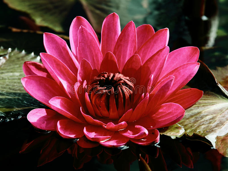 Pink Water Lily On A Dark Pond Among Green Leaves Stock Images
