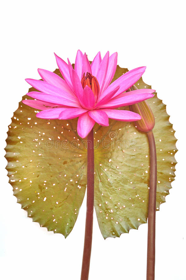 Download Pink water lily flower stock image. Image of garden, india - 28132837