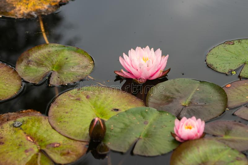 Pink water lily flower stock images