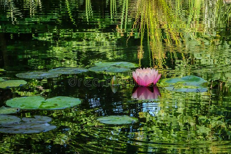 Pink water lily or lotus flower in the pond. Nymphaea Perrys Orange Sunset with soft blurred background. Of green leaves, reflected in the water. Nature concept stock photos