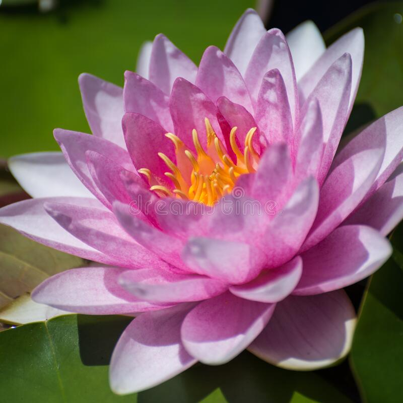 Pink Water Lily Nymphaea species Flower royalty free stock photography