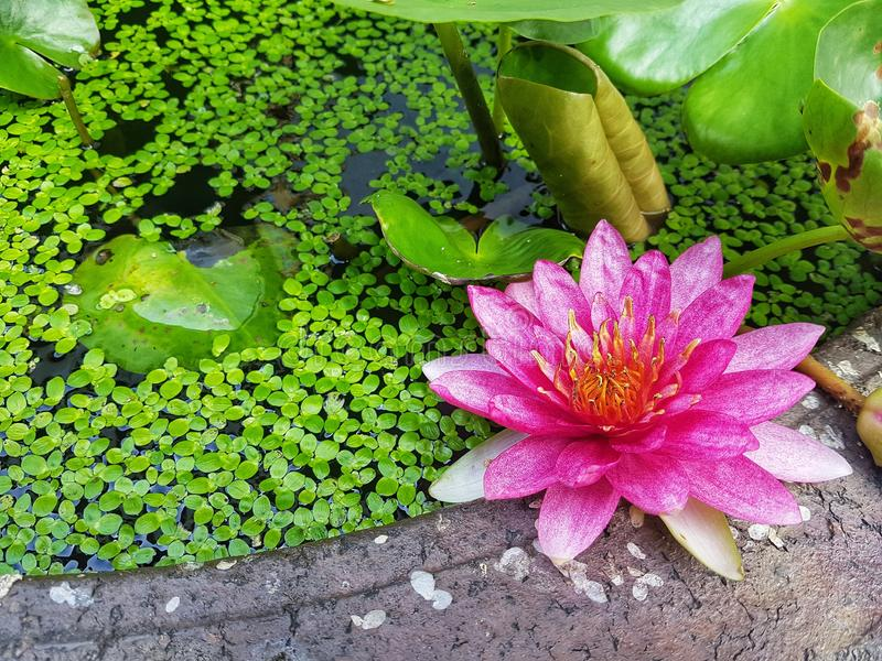 Pink Water Lily. Flower blooming in pond royalty free stock photography