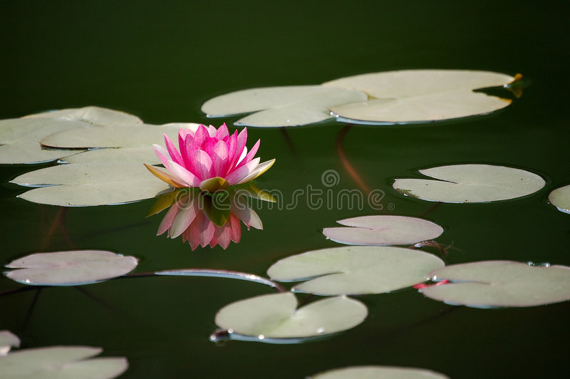 Pink water lily in pond. Pink water lily with reflection in pond, dark colored water as background royalty free stock photos
