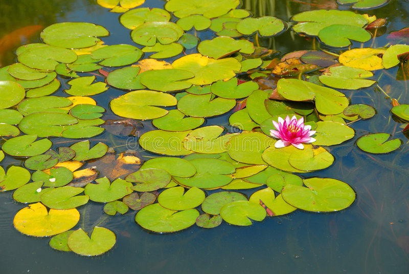 Download Pink Water Lily In The Pond Stock Photo - Image: 7232160