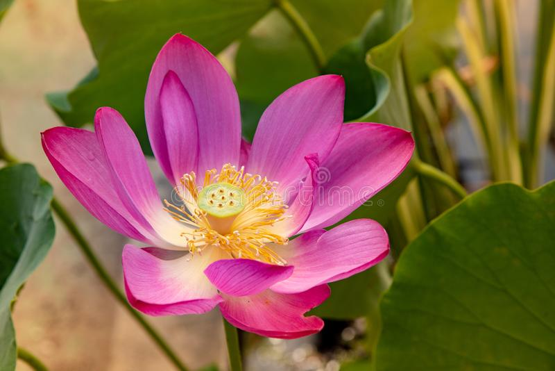 A pink water lily in a pond. Pink water lily in a pond. Beautiful lotus flower in a botanical garden. Summer time royalty free stock image
