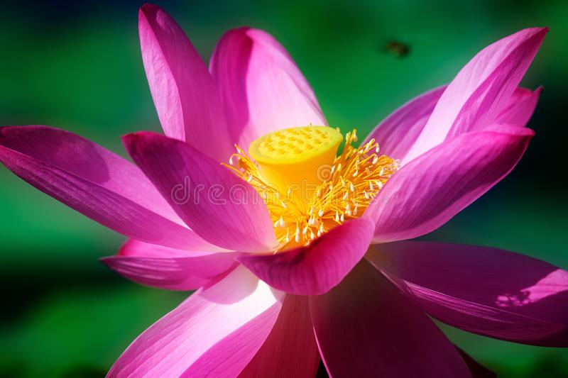 The pink water lily in pond. The photos was taken in ecological garden of Daqing city Heilongjiang province, China royalty free stock photo