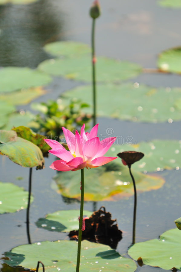 Pink Water Lily Series 4 royalty free stock photos