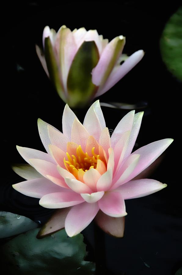 Pink Waterlillies royalty free stock images