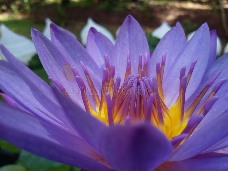 Pink Waterlily bloomed stock image