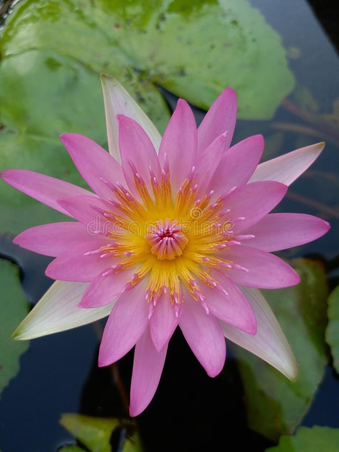 Pink waterlily flower in bloom stock images