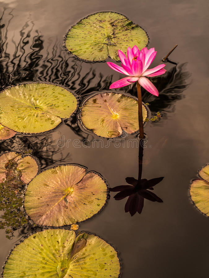 Pink waterlily and lily pads reflecting in water stock photography