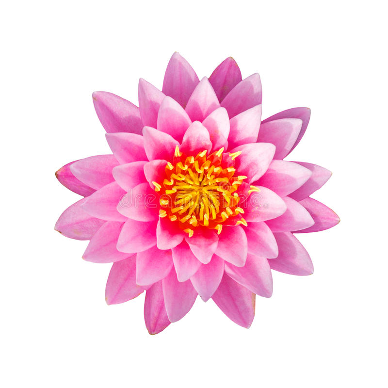 Pink waterlily or lotus flower royalty free stock photography