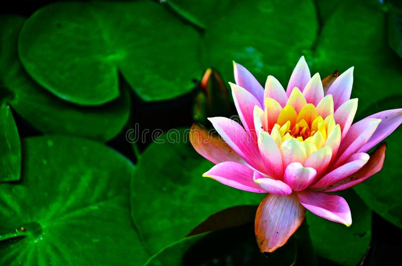 Pink waterlily, Nelumbo nucifera, in full bloom on water in a sunny summer day, lotus flower stock photography