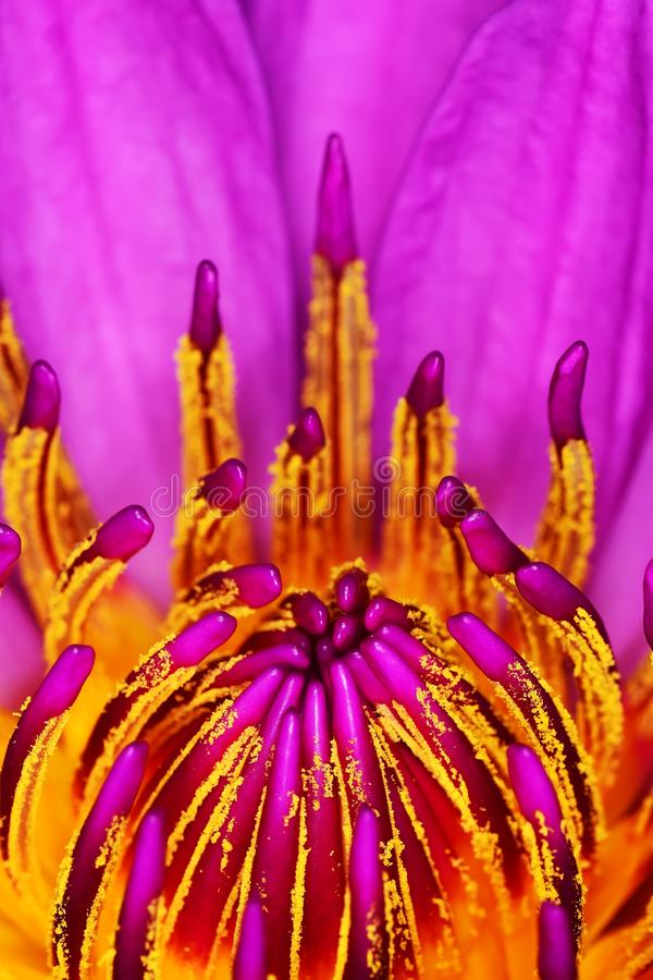 Pink waterlily pistils closeup. Pink waterlily pistils flower details stock photo