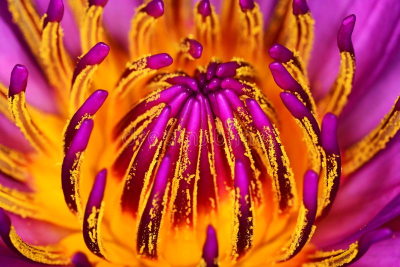 Pink waterlily pistils closeup. Pink waterlily pistils flower details stock images