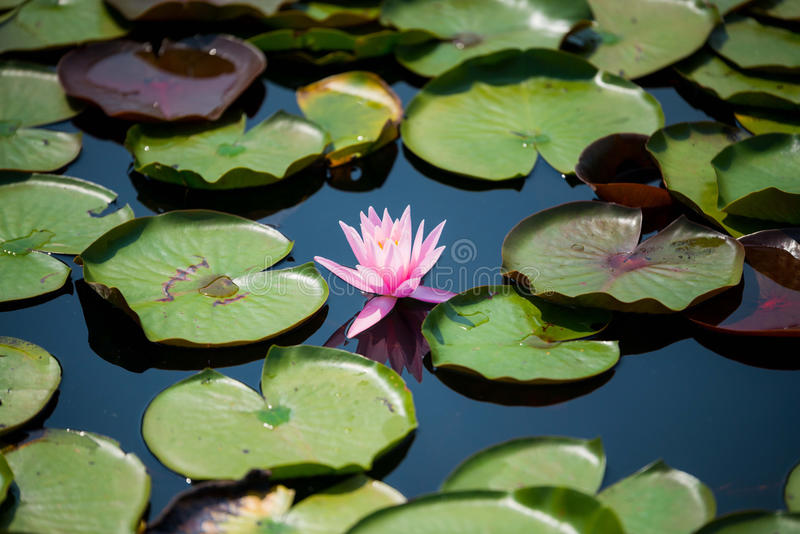 Pink Waterlily Surrounded by Lily Pads in a Blue Watery Pond on a Sunny Day. Picture of a pink waterlily surrounded by lily pads in a blue watery pond on a sunny royalty free stock images