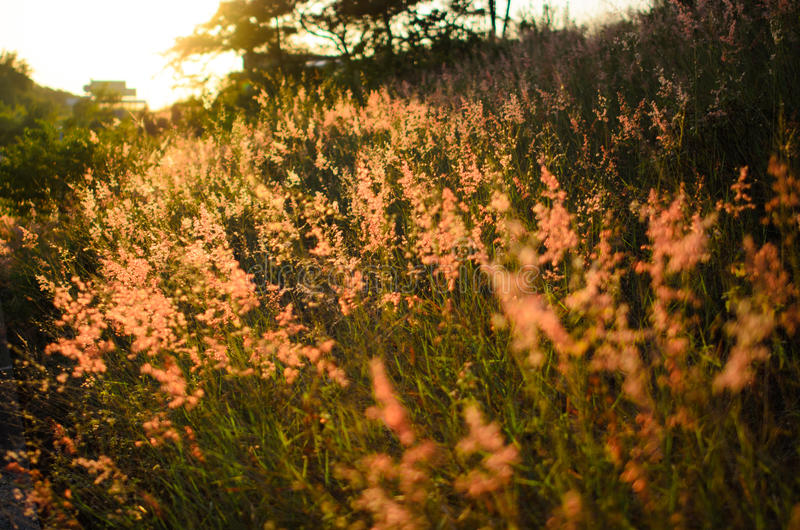 Pink Weeds in sunset royalty free stock photos