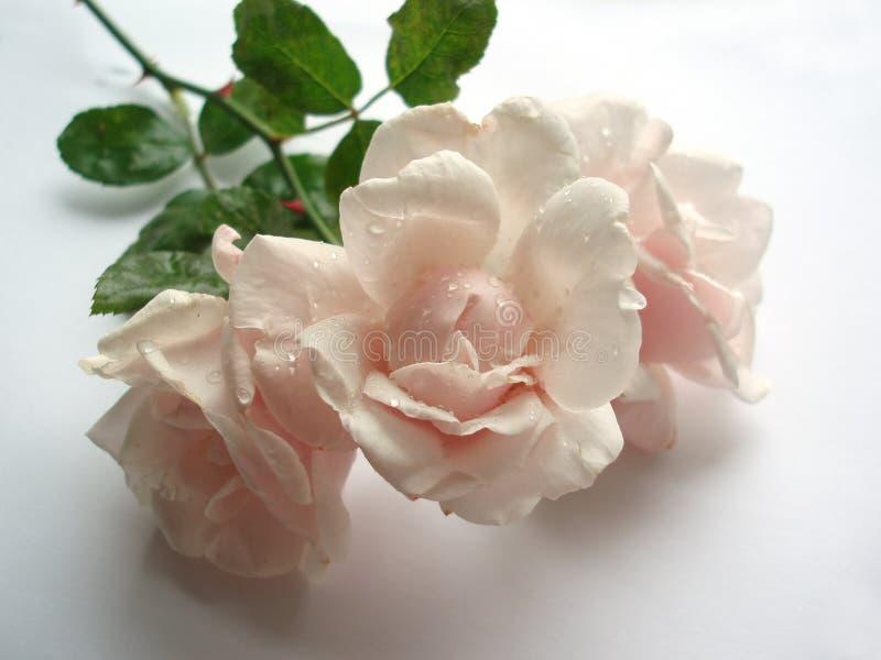 Pink Wet Rose Stock Photos