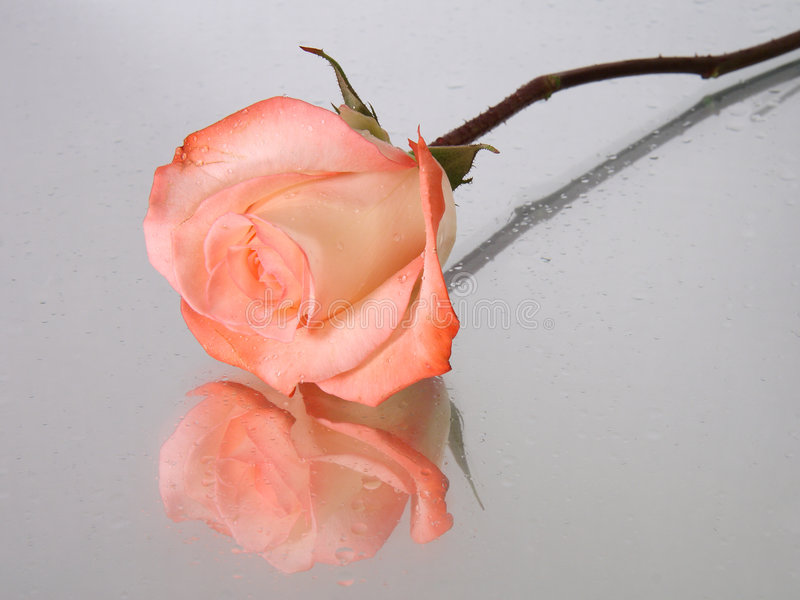 Pink wet rose with water drops royalty free stock images