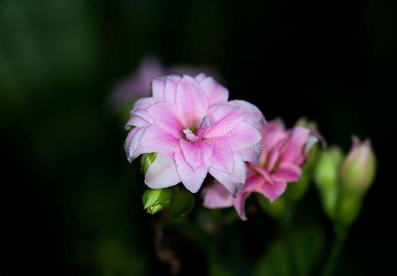 Pink white Amaryllis flower stock image