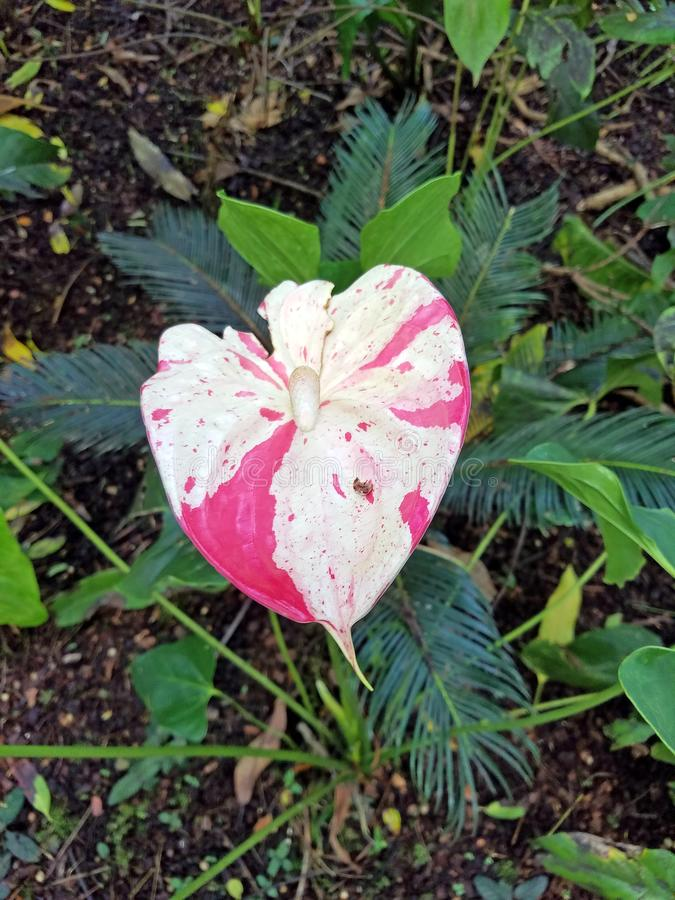 Pink and White Anthurium royalty free stock images