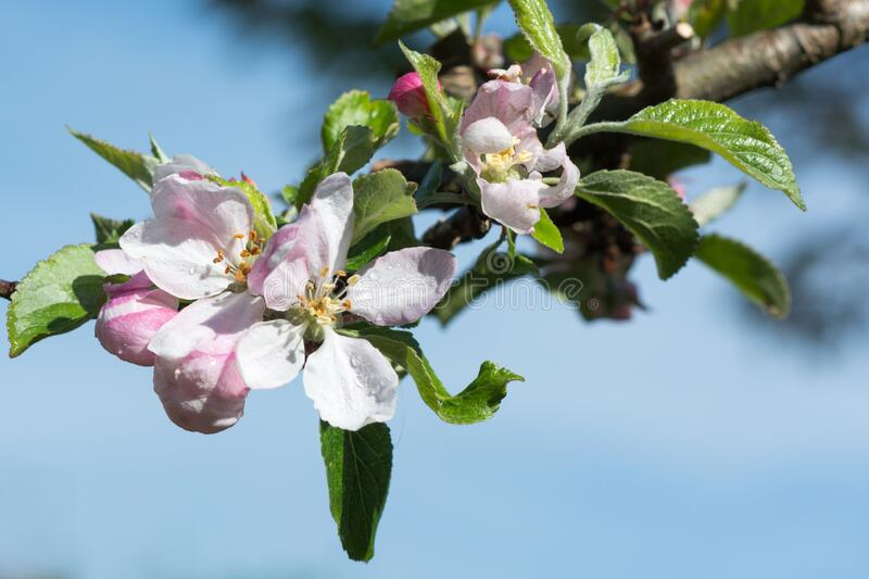 Pink and white apple blossom at a tree royalty free stock images