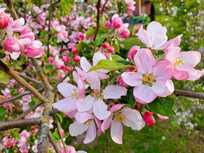 pink and white apple flowers stock photos