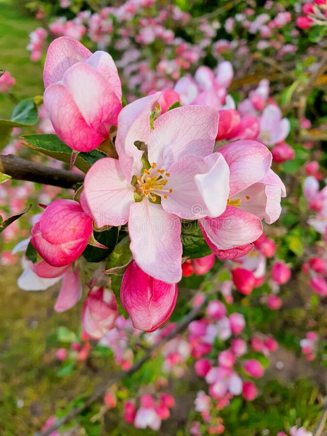 Pink and white apple flowers royalty free stock photo