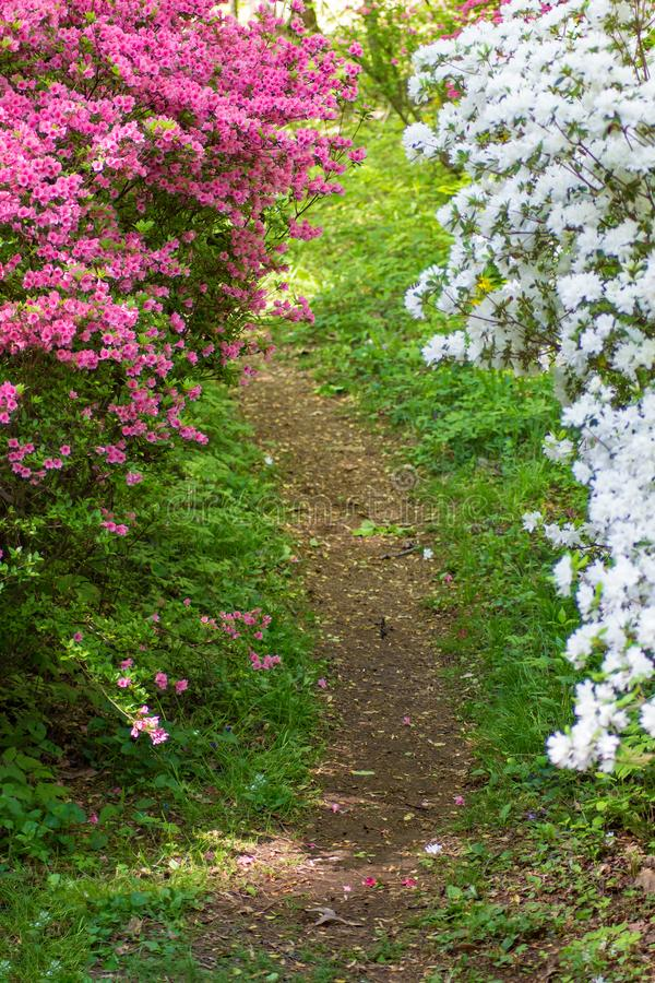 Pink and White Azalea Bushes Along a Hiking Trail. A group of pink and white azalea bushes along a hiking trail in a mountain park located in the Appalachian stock image