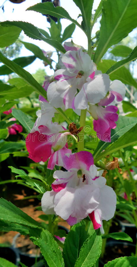 Download Pink And White Balsam Flower Stock Photo