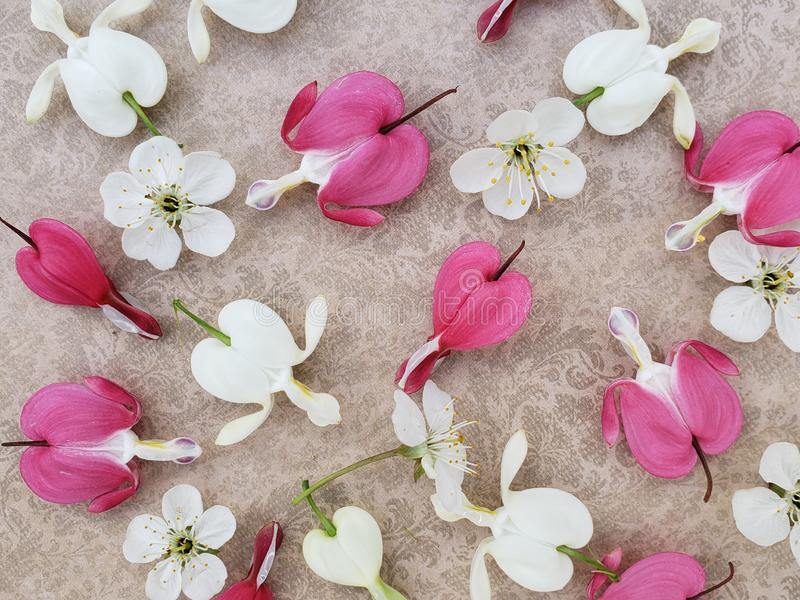 Pink and white bleeding heart flowers with cherry blossoms scattered on romantic background. stock image