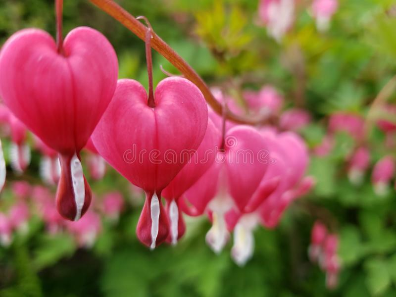 Pink and white bleeding heart flowers lamprocapnos spectabilis all in a row. Close-up of pink and white lamprocapnos spectabilis bleeding heart flowers all in a stock photo