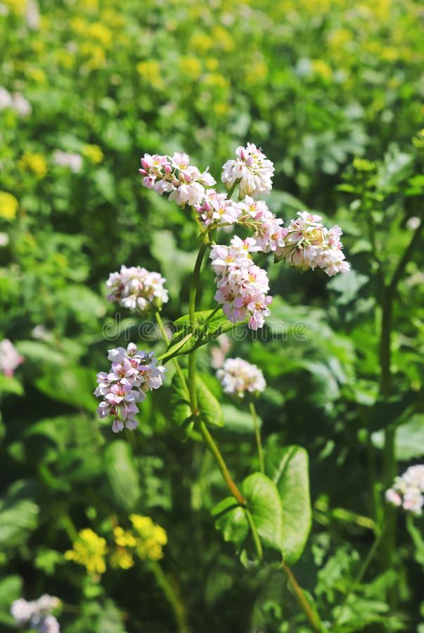 Blooming buckwheat plant, green background royalty free stock photo