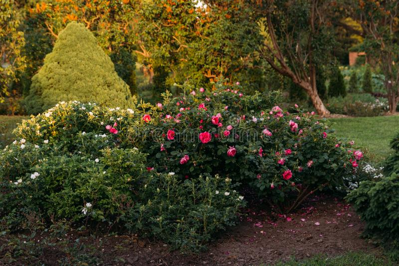 Pink and white bushes flowers grow in the garden.Botanical Garden royalty free stock images