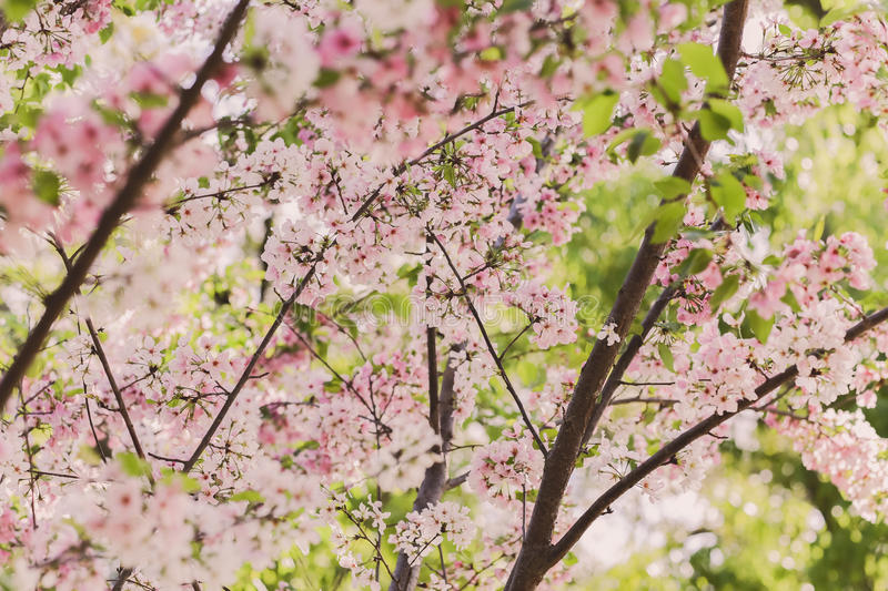 Pink And White Cherry Blossoms Free Public Domain Cc0 Image