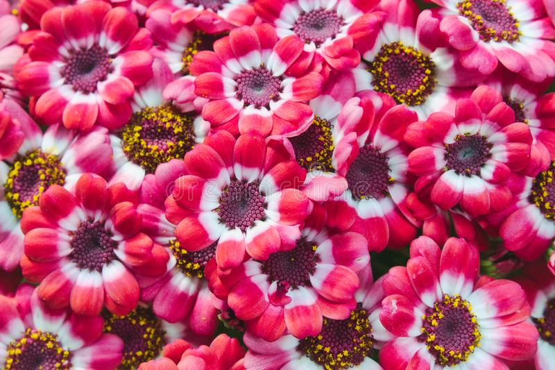 Pink and white cineraria flowers blooming in a pot royalty free stock images
