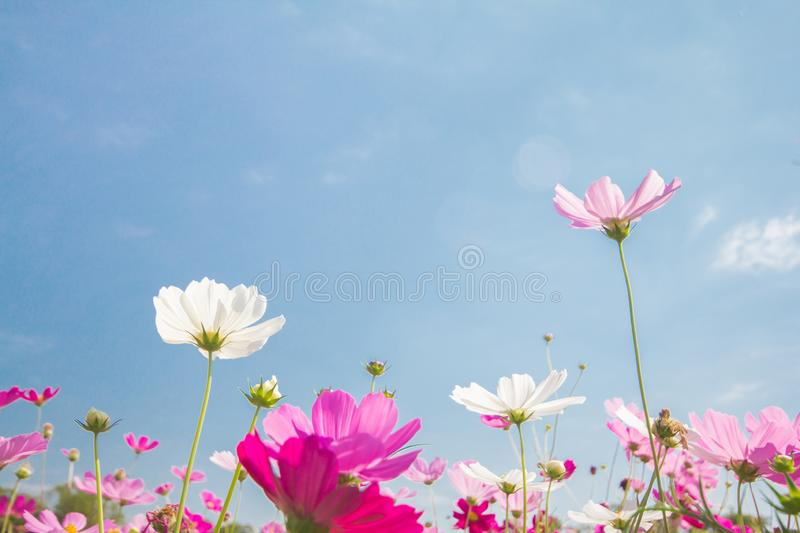 Pink and white cosmos flower group, beautiful In blue sky nature. Background royalty free stock photo