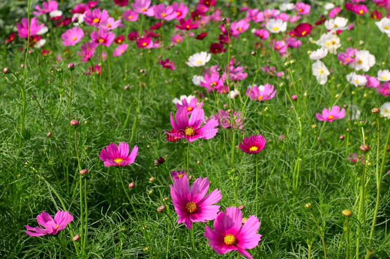 Pink And White Cosmos Flowers Stock Images
