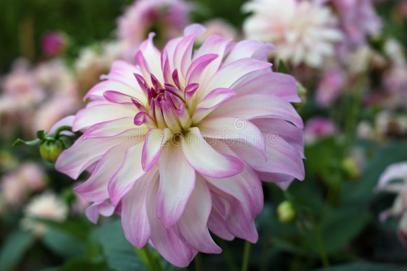 Pink and white Dahlia flower. Pink and white dahlia variety Maiko Girl flower with a background of blurred leaves and flowers and good copy space stock images