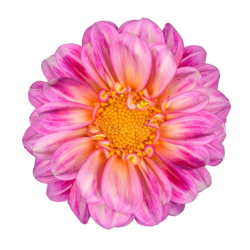 Pink White Dahlia Flower Yellow Center Isolated Stock Image - Image ...