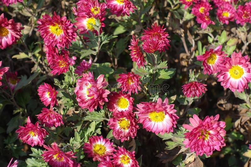 Pink and white daisy-like flowers of Chrysanthemum. Pink and white daisy like flowers of Chrysanthemum stock photo